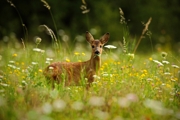 Deer are highly cautious, shy, and careful animals