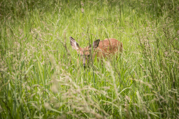 Deer are herbivores who feed on grass, twigs, stems, weeds, and other associate brush