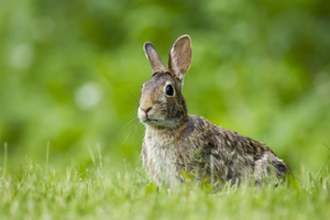 Why are rabbits in your yard?