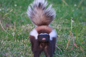 when do skunks spray?