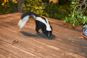 How can I keep skunks away?