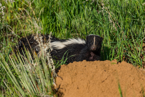 where do skunks come from?