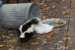 What do skunks want?