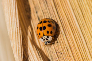 lady beetles are a common house pest in late fall and early winter