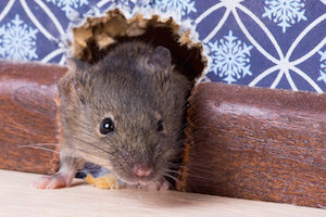 Rodents are notorious for infiltrating homes in the winter