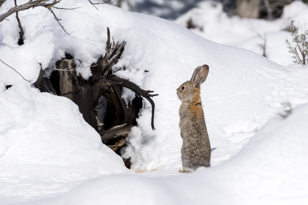 how do rabbits survive in winter?