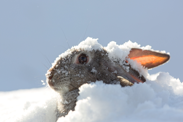 Rabbits never hibernate during winter