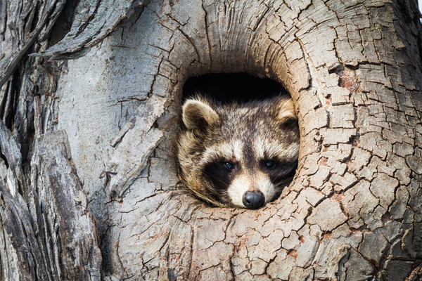Raccoons enter a hibernation-like state in winter