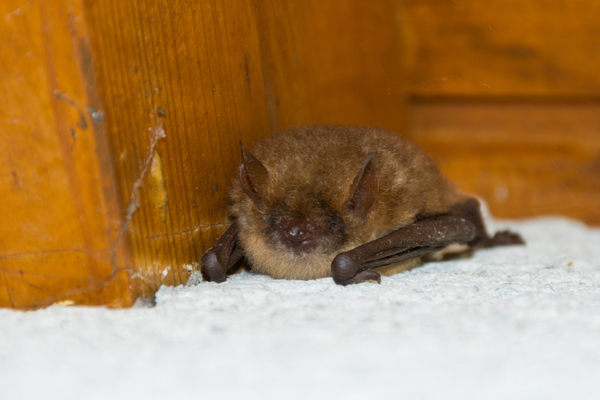 What To Do About Bats This Winter