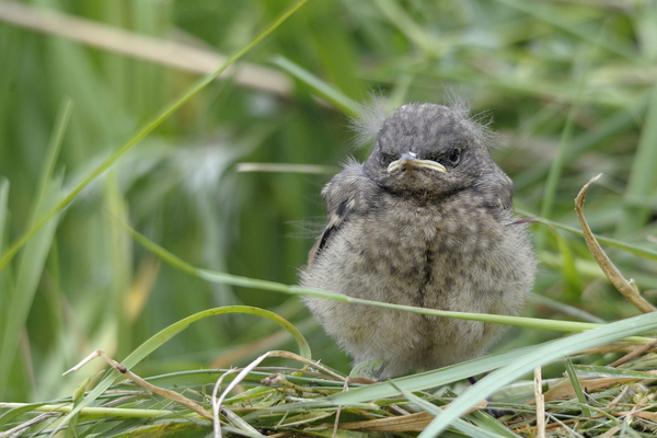 Rather crabby looking baby bird sitting on a bed of trampled grass in an overgrown field