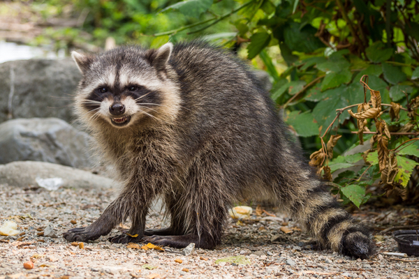 Angry-looking raccoon snarling while making its way across a rocky path near the overgrowth