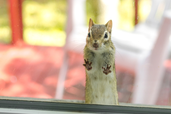 How can you keep chipmunks out of your downspouts?