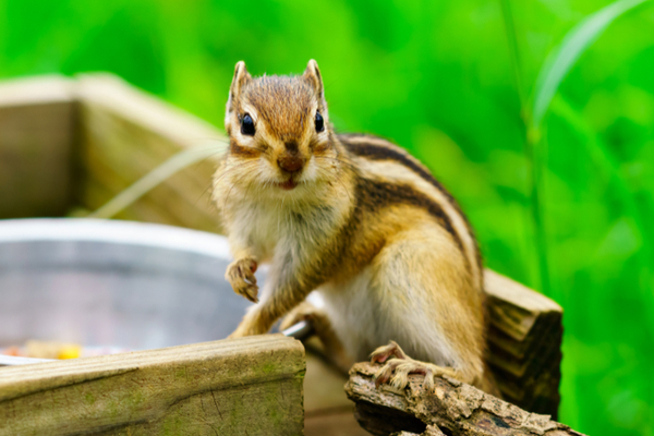 Why are chipmunks near your home?