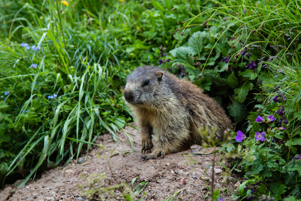 what groundhogs want