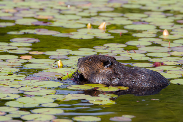Muskrats live near any body of water