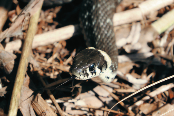 Snake slithering across the floor of a forest in late autumn