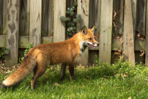 Keeping wild animals out of your yard is an important safety consideration