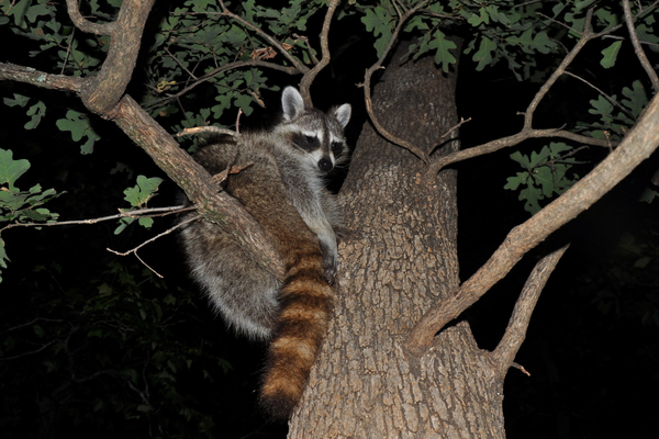 The Animals That Come Out At Night Varment Guard