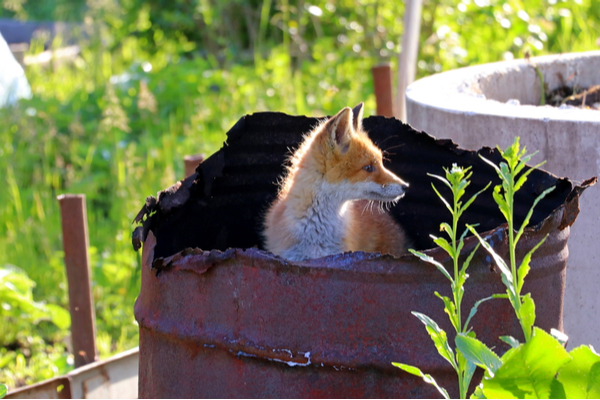Young fox peeking out of a burnt-out iron drum in a park or yard