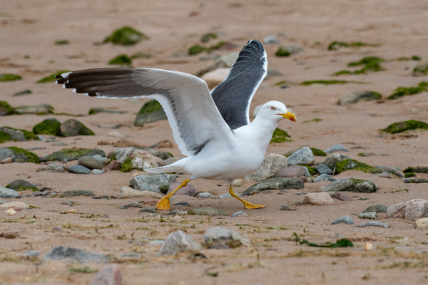 Seagull on a rocky shoreline preparing to fly