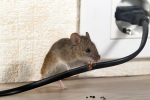 Why are mice inside your house a problem during summer?