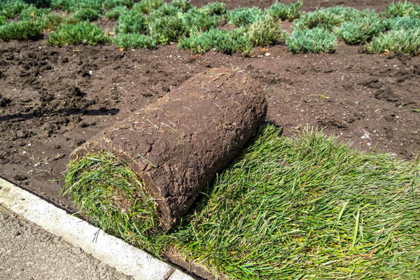 Sod is very attractive to skunks because it usually covers an abundance of grubs and roots