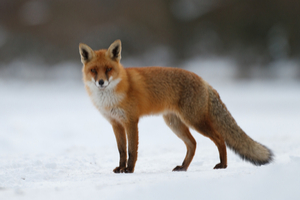 Foxes are the charming rogues of the animal kingdom