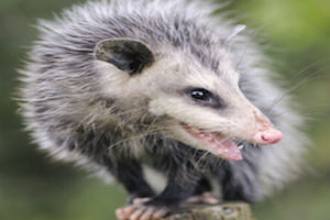 opossums are cute, when they're not terrorizing your garden
