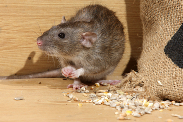 Rats and mice are both opportunistic, omnivorous scavengers