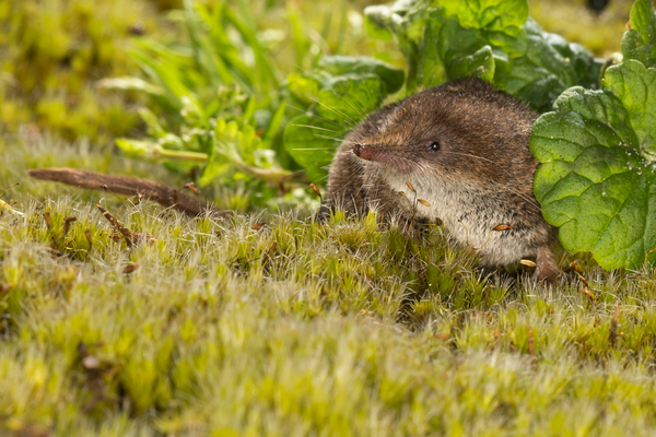 Shrew hunched among ferns and plants in someone's yard