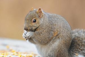 Squirrels are infamous for how they fatten up over the winter