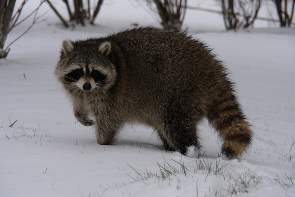 Raccoon making its way across a snowy field in the winter