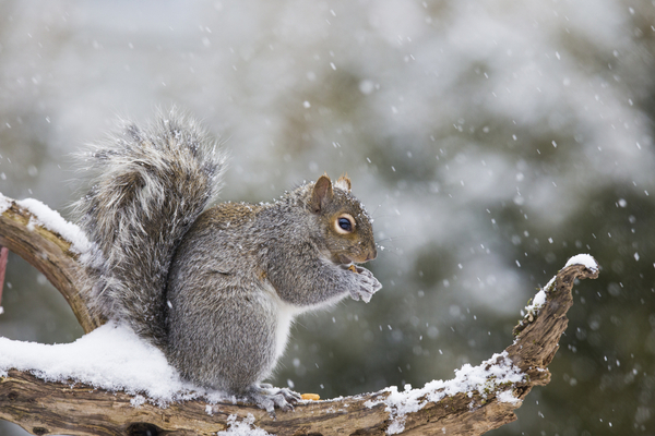 Squirrel eating a nut and sitting on a snowy tree branch during the winter