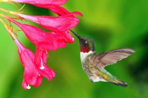 What do hummingbirds want?