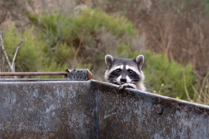 what raccoons are up to