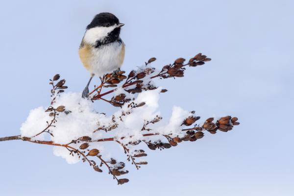 The black-capped chickadee is a very small (4.7-5.9 inch), plump songbird that never migrates for winter.