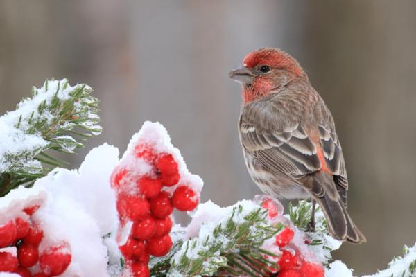 House finches are small (5.1-5.5 inch), thin birds with long heads and short wings.