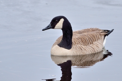 Cackling Goose Swimming In A Pond