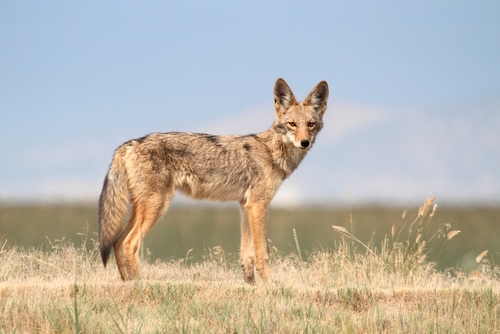 Coyote On Hillside Canis Latrans