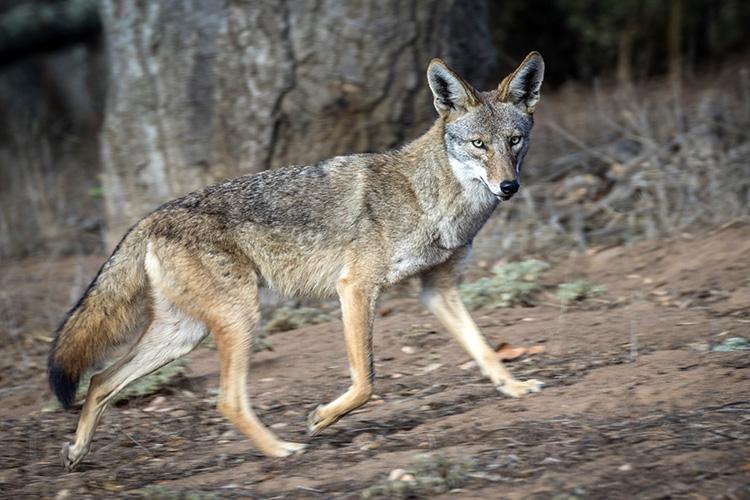Coyote Trotting Across Backyard Ears Raised?R=Td Ms Pp8 Iu Te=