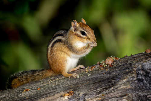 Eastern Chipmunk Tamias Striatus Sitting On A Fallen Tree Eating A Meal