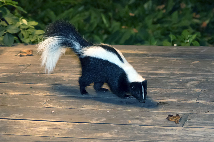 Skunk Control And Removal Wildlife Service Mn Oh Varment