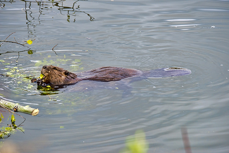 Beaver Swiiming In Lake Amongst Tree Brush