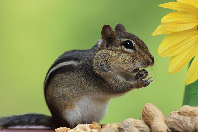 Chipmunk Eating Peanut Shells In Garden B