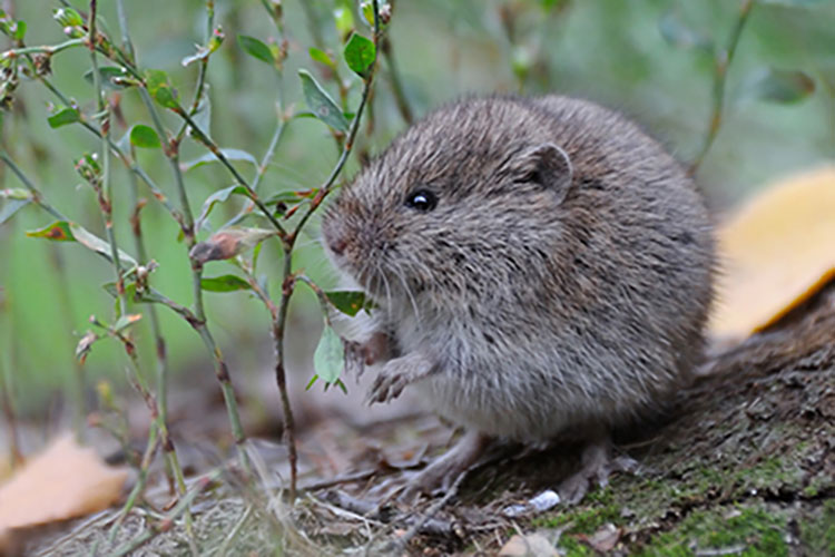 Meadow Vole Sitting Outside Hole