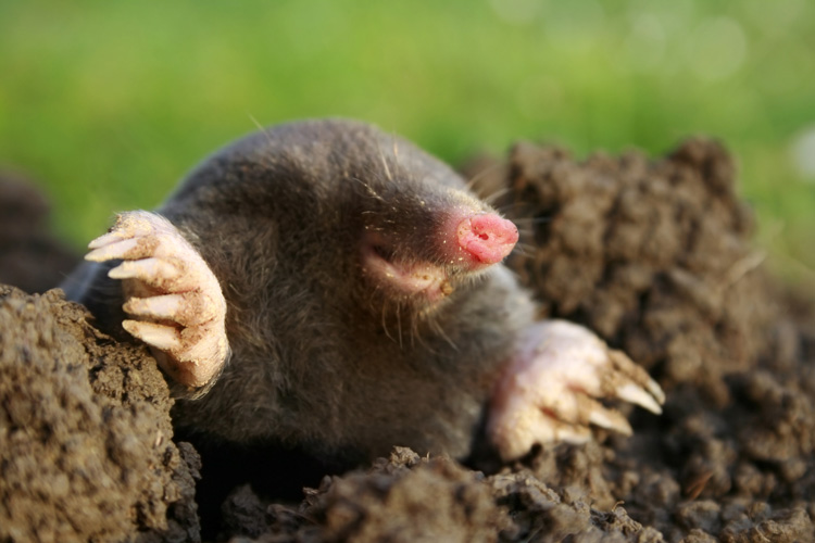 Mole Diggin Out Of Hole In Yard