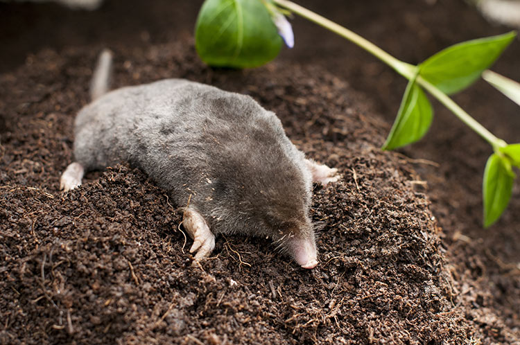 Mole On Dirt Pile In Garden