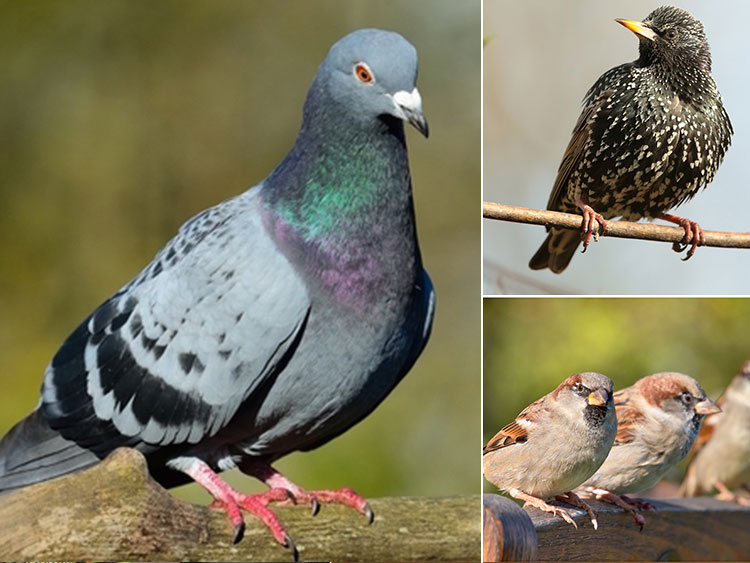 Pigeons Starlings Sparrows Unprotected Birds?R=Aq5e T4h Lhw0=