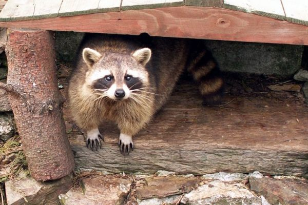 Raccoon Trapping Prevention Repellent 600x400