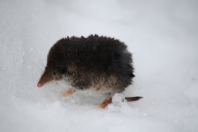 Shrew On Top Of Snow